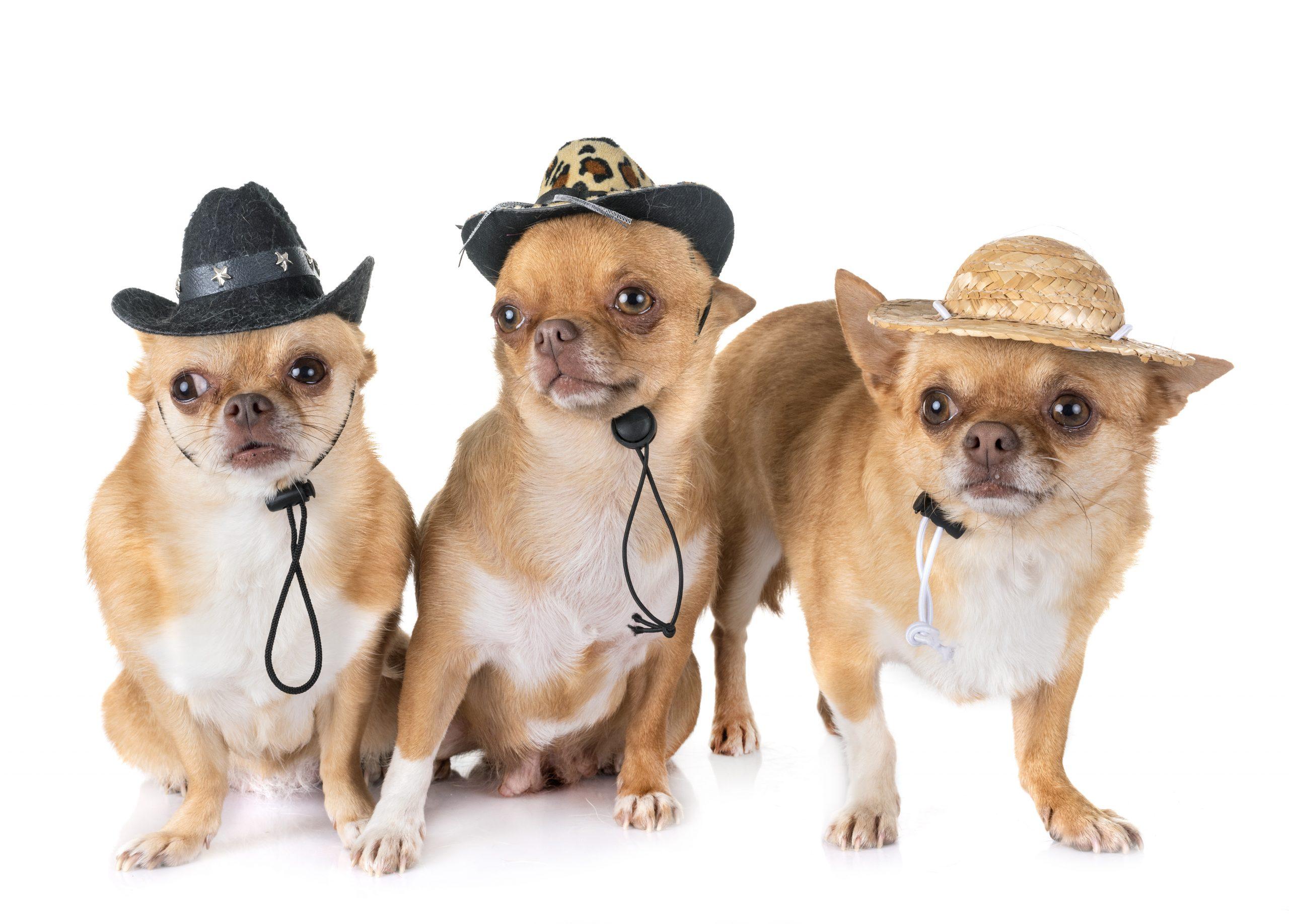 chihuahuas wearing cowboy hats