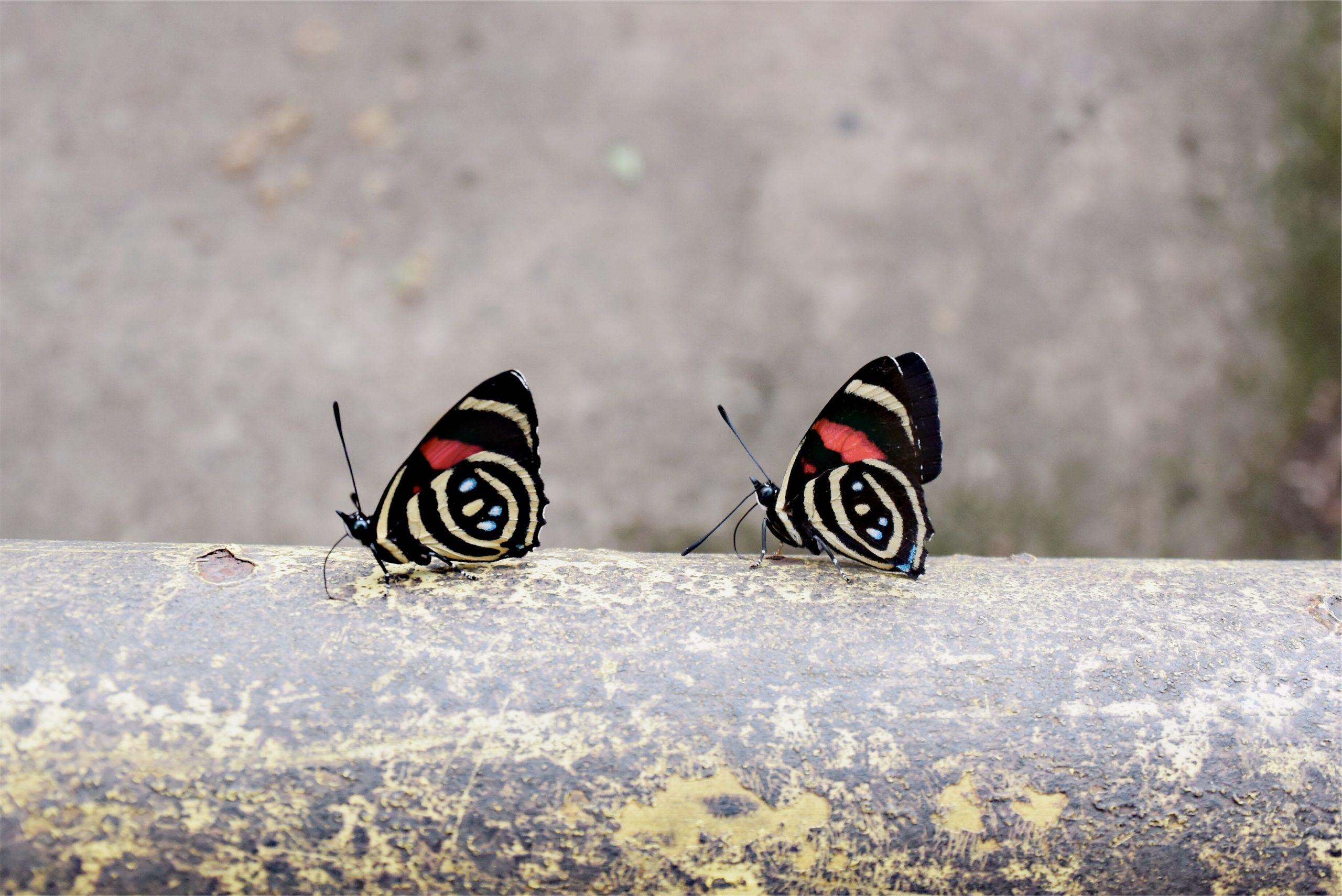 Two butterflies depicting duplicate content